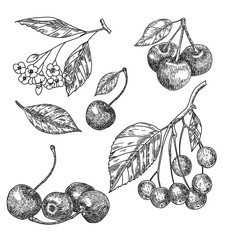 Cherry sketch set. Fruits vector illustration.