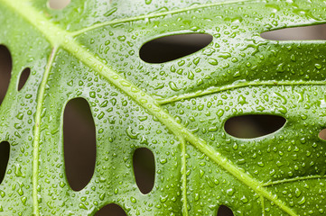 Rain drops on leaf of cheese plant