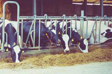 cows in a farm. Dairy cows in a farm. Vintage style