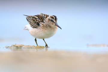 Broad-billed sandpiper (Limicola falcinellus)