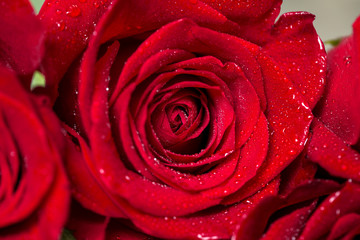 Close-up view of beautiful red rose.