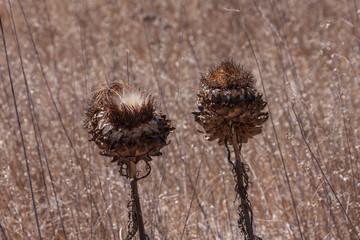 Dried Wild Artichokes Southern California