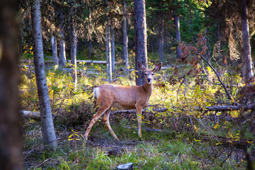 Deer in a forest.  Yellowstone National Park, Wyoming.