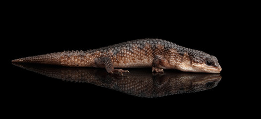 brown skink, tropidophorus baconi on isolated black background with reflection, wild reptile Wall mural