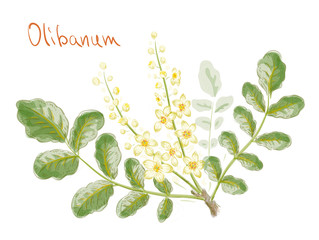 Boswellia sacra (commonly known as frankincense or olibanum-tree