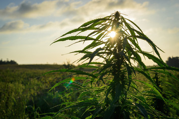 Cannabis plant in field