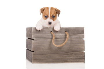 adorable jack russell terrier puppy in a wooden box