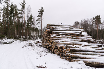 Piles of logs. Pine trees covered in snow.