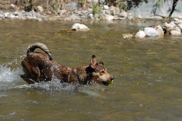Hund läuft durch Fluss