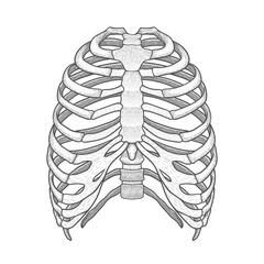 Illustration of human rib cage. Line art style. Boho vector