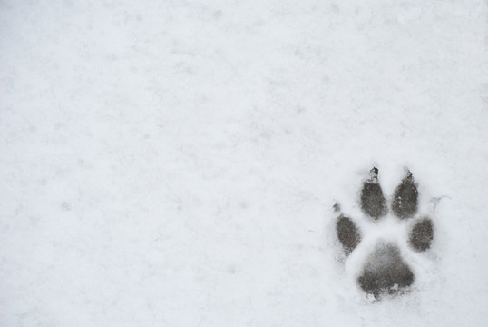 Dog foot print in a snow