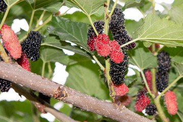 ripe black and red berries on Morus tree