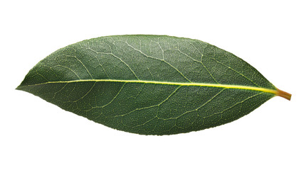 Fresh bay laurel (Laurus) leaf, paths