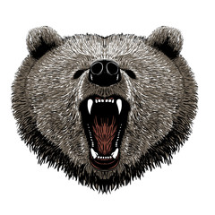 grizzly bear vector illustration