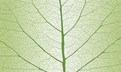 Leaf with rib, close up