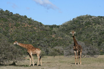 Giraffes in African landscape