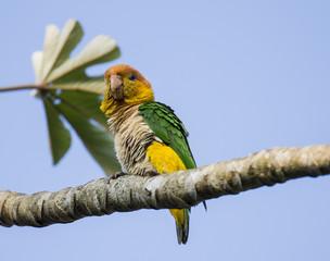 Ruffled parrot
