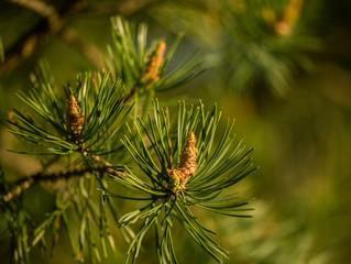 Beautiful pine tree in natural habitat