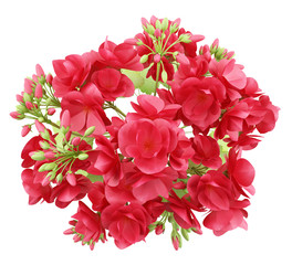top view of red geranium flowers isolated on white background
