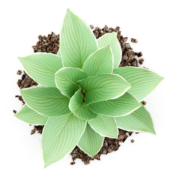 top view of hosta plant isolated on white background