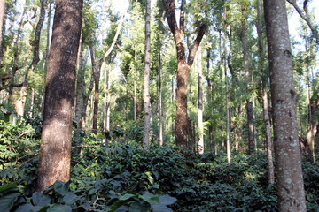 Large coffee plantation having very tall oak trees in order to provide lesser sunlight to the coffee plants