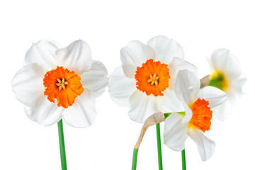 Canvas Prints Narcissus beautiful spring white and yelllow daffodil flowers isolated on