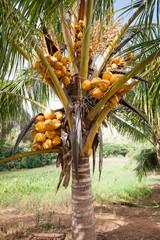 Kokospalme, Cuba