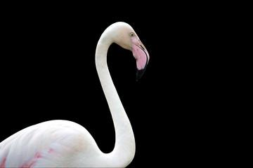 White beautiful flamingo isolated on black background