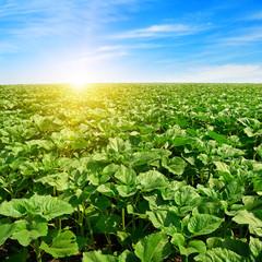 Fototapete - sunrise over sunflower field