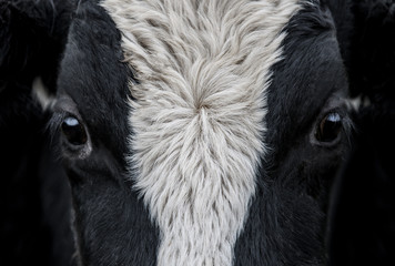 Aluminium Prints Cow Cow, face close up
