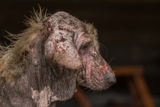 ugly stray dog with skin disease,social problem.