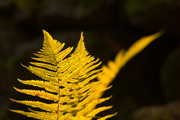 Sunlit young fern stock with dark woodlands as background
