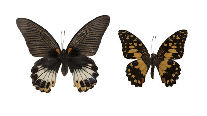Butterflies isolated photography set: Great mormon (Papilio memnon) and lime butterfly (Paoilio demoleus).