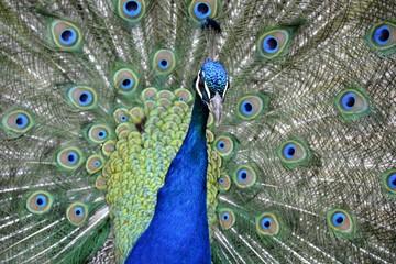Detail of a wild peafowl