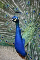 Detail of a wild peafowl