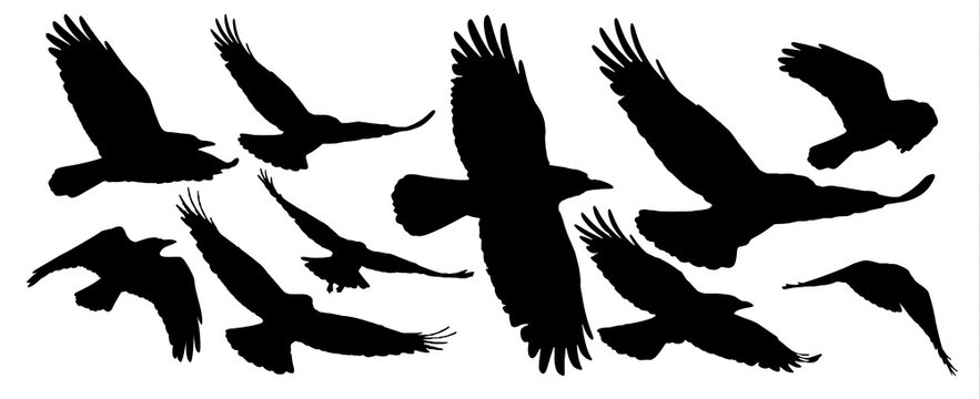 Set of black isolated silhouettes with crows