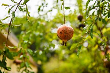 Punica granatum Diseased