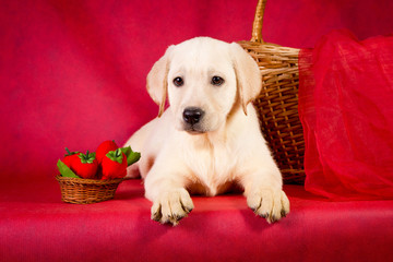 Purebred golden retriever dog on red background