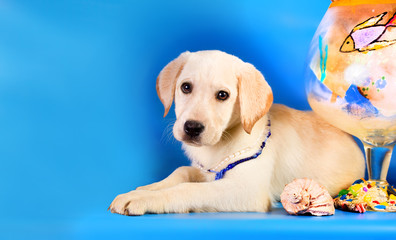 Purebred golden retriever dog on blue background. Marine theme