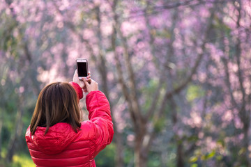 Female take photo Spring Cherry blossom or Sakura field by Smart phone