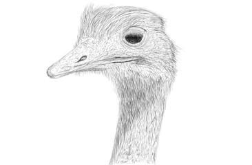Hand drawn ostrich bird head illustration. Lines art illustration draw ostrich.