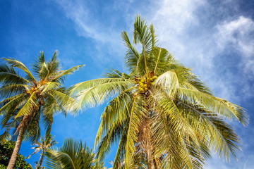 green palm tree with coconuts against the bright blue sky. Beaut
