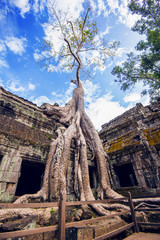 Wall Mural - Trees growing out of Ta Prohm temple, Angkor Wat in Cambodia.