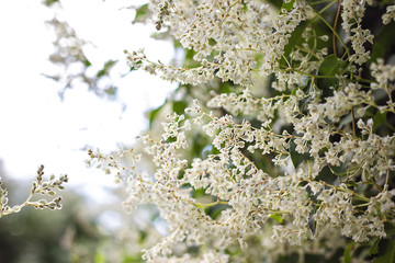 beautiful white flowers abstract floral blooming background. garden twine plant