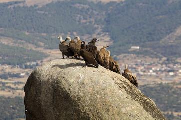 Griffons vultures. Gyps fulvus