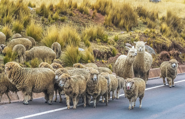 Peruvian livestock (cows, sheeps, alpacas) on the road / crossing the road.