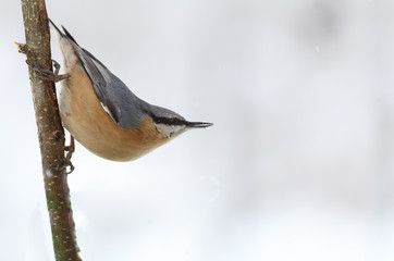 Nuthatch With a dirty beak sitting on a branch on snow background