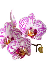 Fototapete - Orchid isolated on white background
