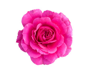 Top view of beautiful shocking pink rose with sun light isolated on white background with clipping path.