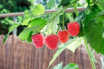 four ripe raspberries hanging on a branch in a row growing on a balcony